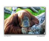 San_diego_zoo_ape